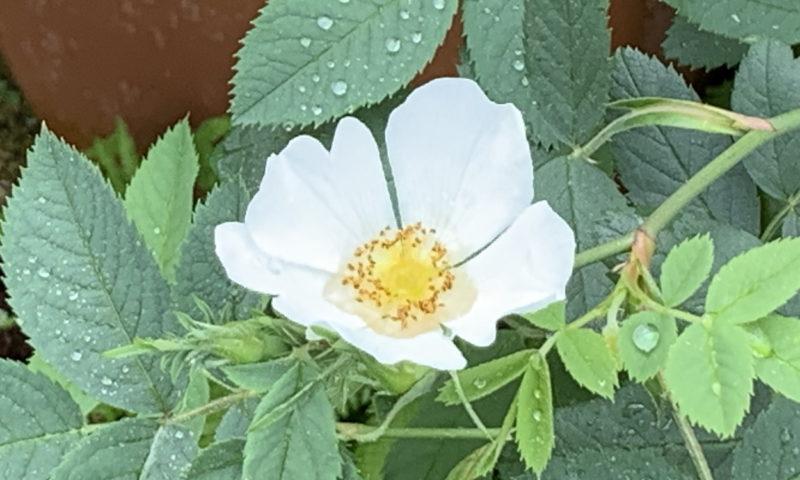 ピエールの鉢から伸びて咲いたノイバラの花