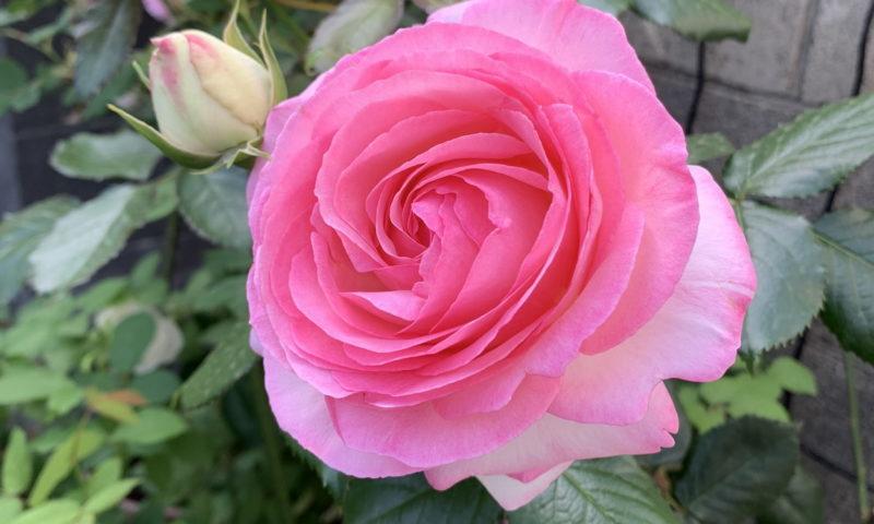 ピンクが濃いピエール