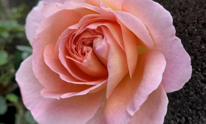 咲き始めのダービーの中心