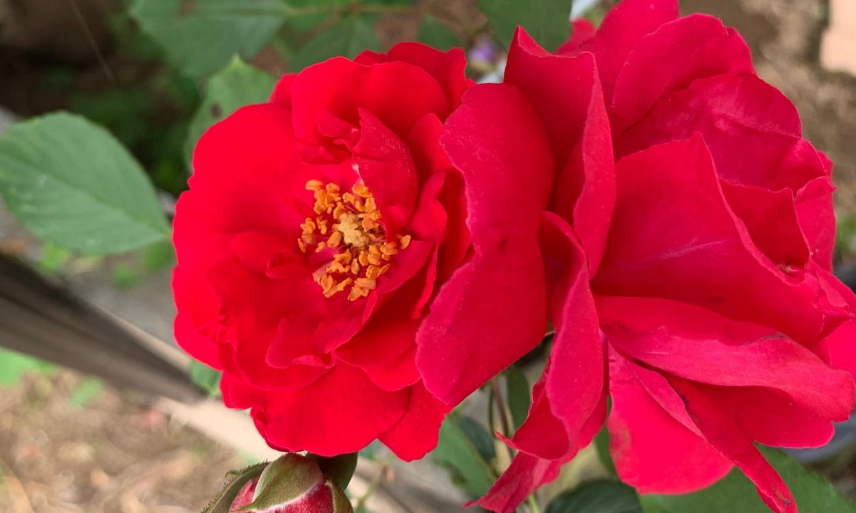 開花した赤いつるバラ