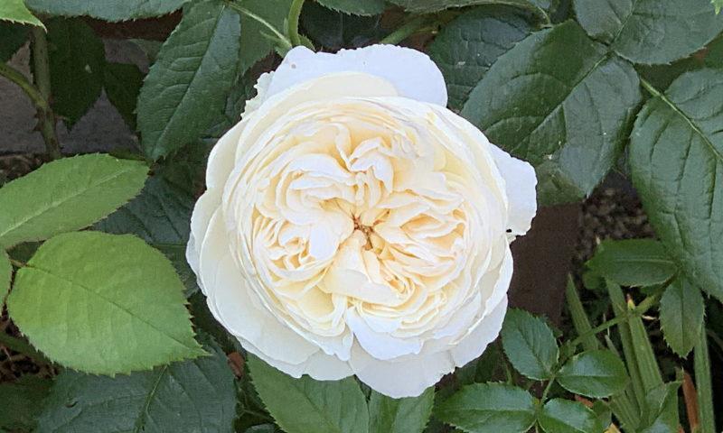 ボレロの花