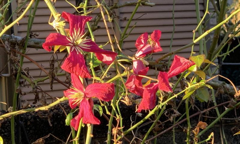朝日に輝くマダムジュリアコレボンの三番花