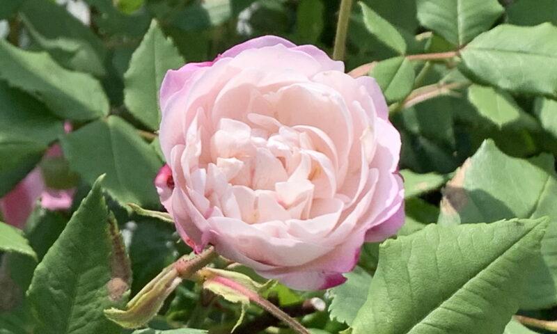 白っぽいオジェの一番花