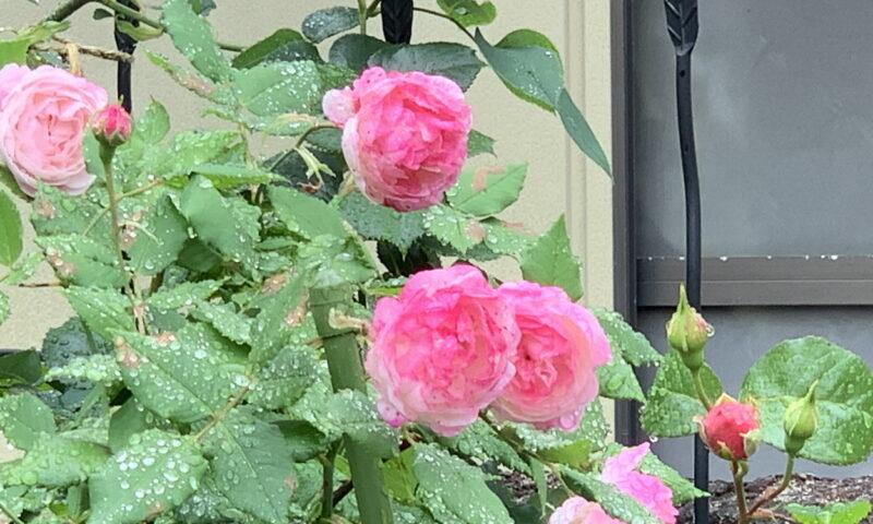 ピンクの強いオジェの花