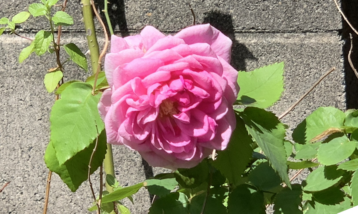 マダムイザークペレールの花