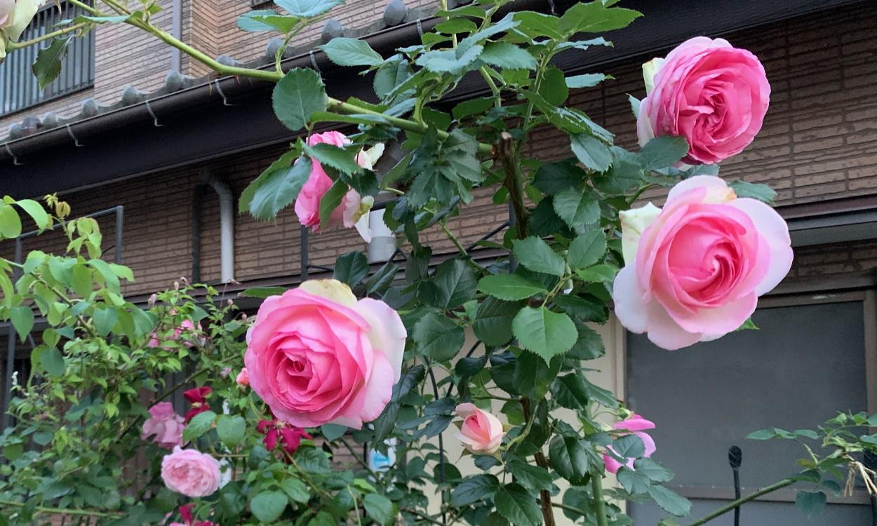 開いたピエールの花