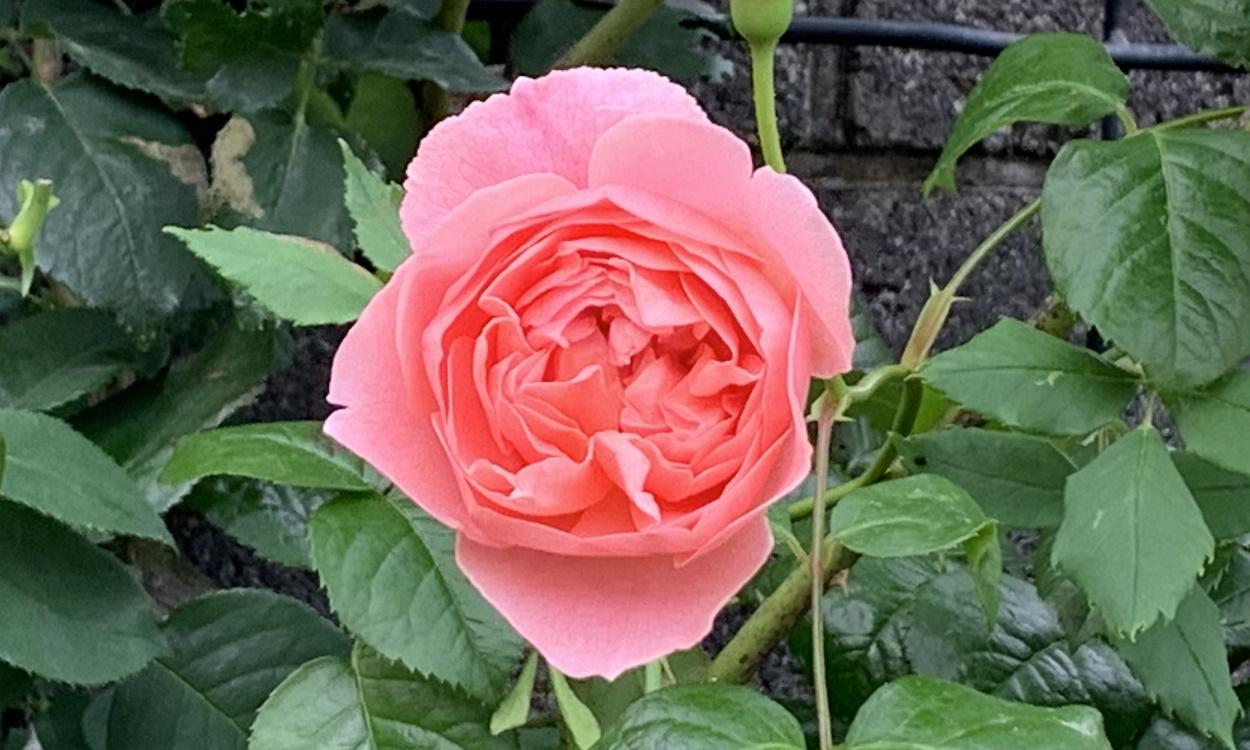 開花したストロベリーヒル