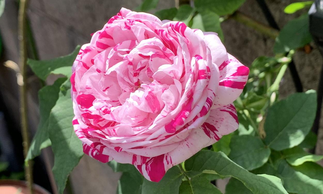 開花したボローニャ