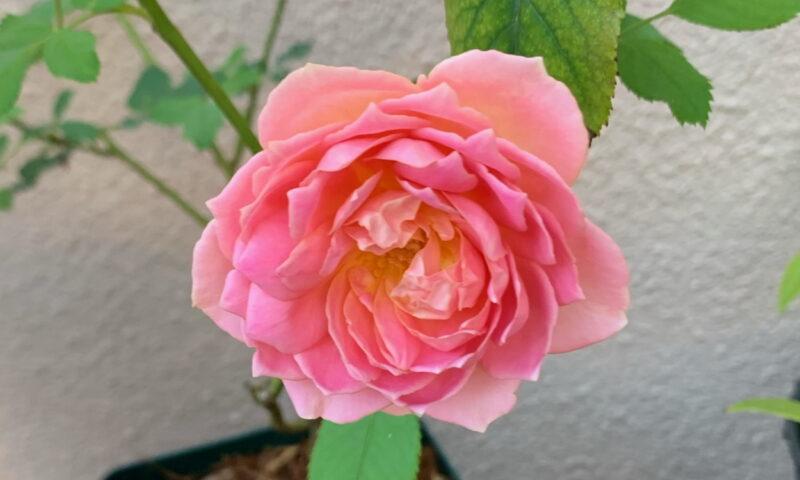 二つ目のジュビリーの二番花