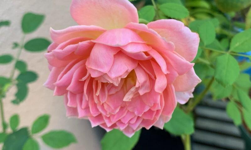 ジュビリーの二番花