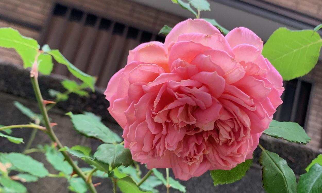 ジュビリーセレブレーションの花