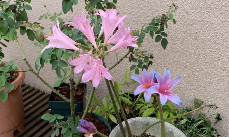 開花したリコリススプレンゲリ